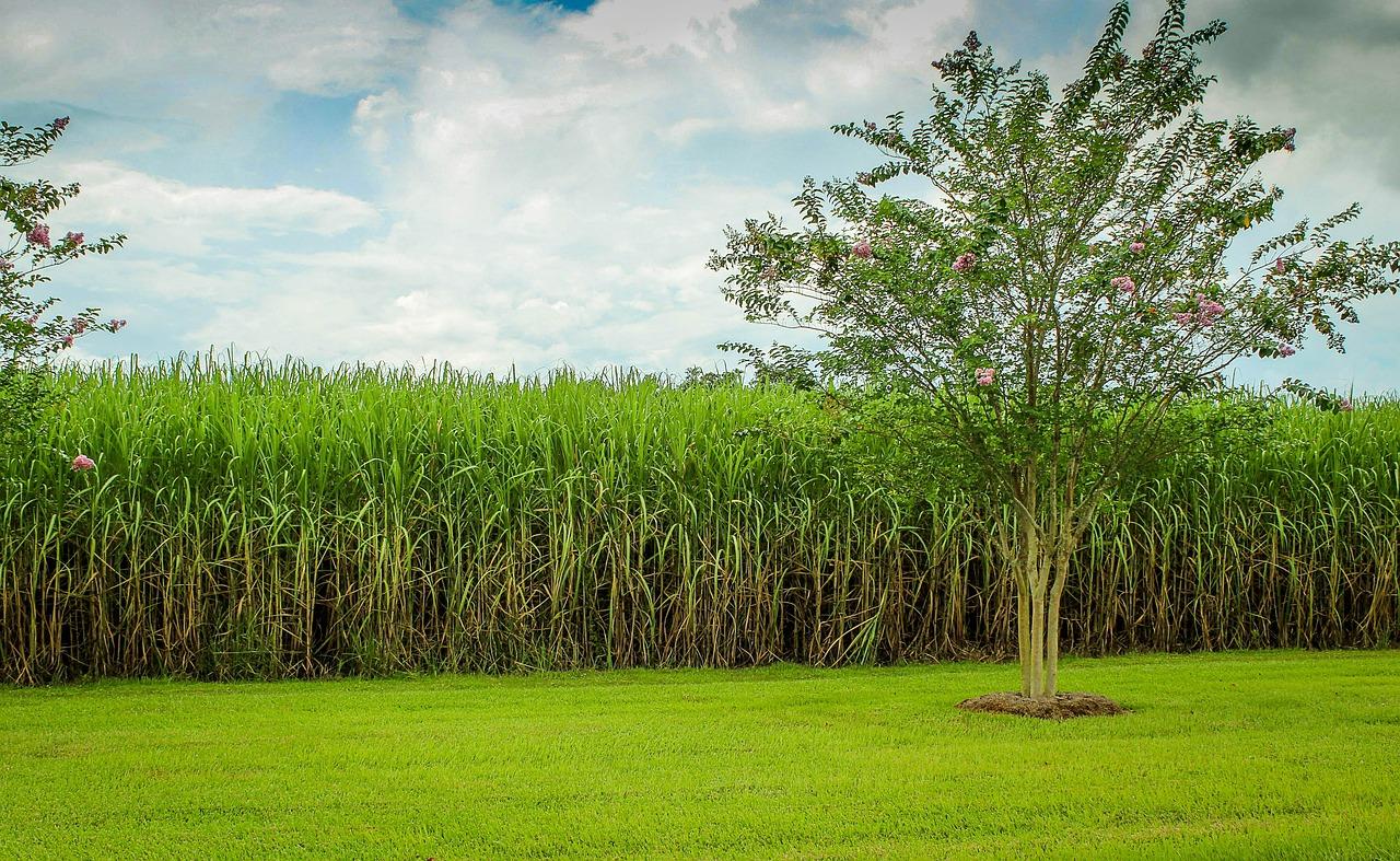 Zuckerrohr-Monokultur-Plantagen sind schlecht für die Umwelt